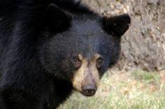 Retiran al oso negro americano de la lista de especies en peligro
