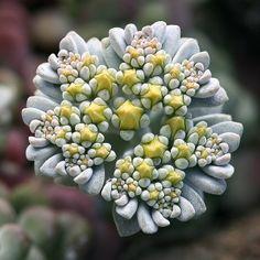 Cymose inflorescence of Sedum spathulifolium.