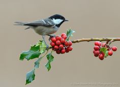 Coal Tit on Holly by Dean Mason on 500px