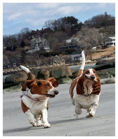 basset hounds running via BenfromSalem (cute!)