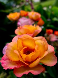 God's most perfect rose!!! LOVE those colors!