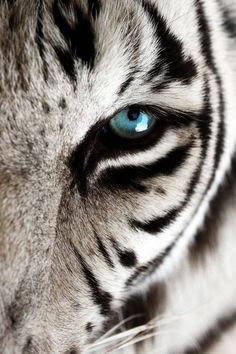 Blue eyed white tiger