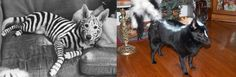 Can we please paint Guerro into a Zebra???? - 25 Dog Costumes That Will Make You LOL via Brit + Co.