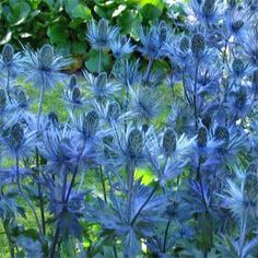 Xeriscape: Sea Holly/Eryngium - Sea Holly is a striking plant just made for that hot, sun baked spot. Needing full sun, very drought tolerant, and thriving on neglect, these plants are perfect for xeriscaping. Sun Plants, Garden Plants, Holly Plant, Architectural Plants, Sea Holly, Holly Blue, Drought Tolerant Plants, Outdoor Plants, Flower Seeds