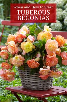For Bold Summer Color In A Shady Yard, Its Hard To Beat Tuberous Begonias. These Lush, Tropical Plants Ask Very Little, Yet Bloom So Prolifically. Figure out How To Get A Head Start On The Season By Starting These Tubers Indoors. Tuberous Begonia, Garden Bulbs, Shade Garden, Garden Plants, House Plants, Flowering Plants, Potted Plants, Container Flowers, Lush