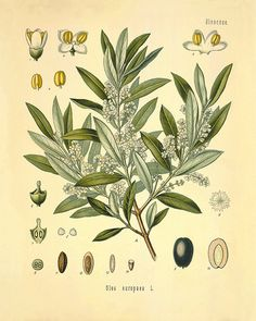 Olive Tree art print antique kitchen art print by VictorianWallArt