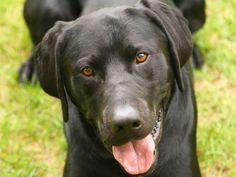 Labrador Retriever: Hund zum Verlieben — Bild: Shutterstock / Nick Chase 68    www.einfachtierisch.de