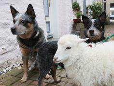 Wolfgang Grensens, German Hobby Shepherd, Raises Orphaned Lamb (PHOTOS)