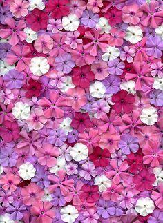32200 Phlox by horticultural art, via Flickr