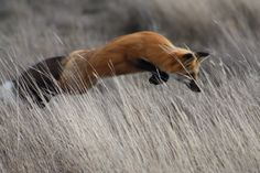 Red Fox in action on San Juan Island