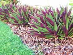 rhoeo plant image - To be planted with other massed succulent plant under Frangipani and around water bowl feature Hardy
