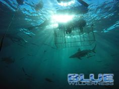 Our shark diving interns get to spend time with the KwaZulu-Natal sharks, both in and out of the cage.