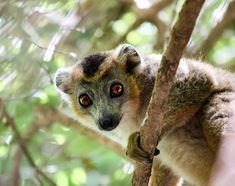 Crowned lemurs can only be found in the Northern region of Madagascar. We were lucky enough to see them up close in Montagne d'Ambre NP and Ankarana NP. No lions required in Madagascar, it already has its own king of the jungle!  Follow @work.sleep.travel.repeat  #lemur #dreamdestination #madagascar #africa #wildlife #wildlifephotography #nationalpark #reserve #hike #travel #traveling #vacation #visiting #instatravel #instago #instagood #trip #holiday #fun #travelling #tourism #f4f… Flying Lemur, Lemurs, Madagascar, Wildlife Photography, Lions, Tourism, National Parks, Africa, Holiday Fun