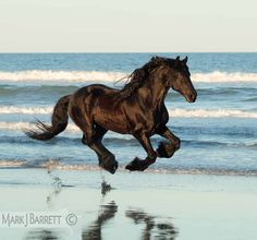 black Friesian horse running on the beach