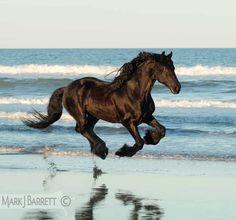 black Friesian horse running on the beach