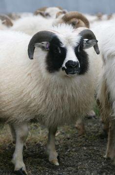 Icelandic Sheep  hreindyr.com Photographer Skarphéðinn G. Þórisson