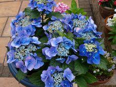my blue hydrerage