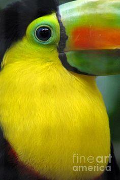 Beautiful Toucan Bird