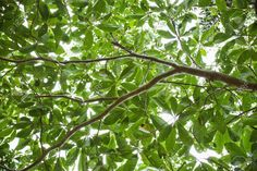 Low Angle View Of Tree With Backlit Leaves In Daintree Rainforest ...