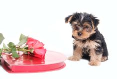 Hiya. A box of chocolate, flowers, and cute little ol' me! #valentines #puppy