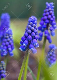 beautiful blue grape hyacinth flowers close up
