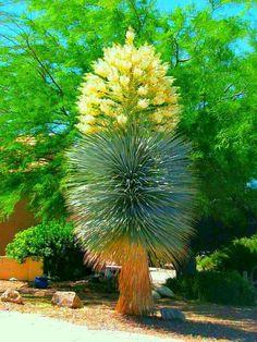 Blue Yucca (Yucca rigida)