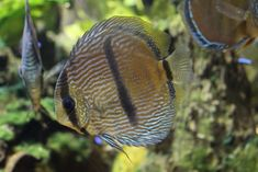 SegelFlosser. Wild discus fish are rare and challenging amongtropical fish species, but there's nothing more beautiful than a South American biotope tank with a group of wild discus. Photograph © Mats Wesen