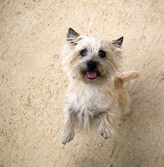 Cairn Terrier information including pictures, training, behavior, and care of Cairn Terriers and dog breed mixes.