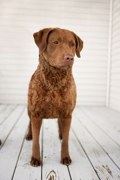 So my mom does dog shows and stuff and this beaut has been living with us for quite some time. She's the number one female Chesapeake bay retriever... IN THE COUNTRY PEOPLE ! & her name is Jessie. Her past times are licking Joseph's toes & digging holes in my back yard lol