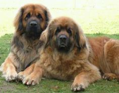 I am friends with some of these gentle giants on instagram. They are so sweet and gentle. #leonberger