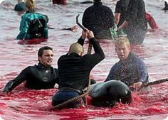 The Whale and Dolphin Slaughter - Faroe every September.