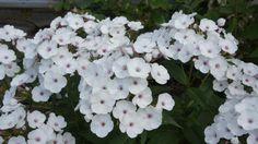 Phlox : Miss Jill - elles aiment ma terre lourde et argileuse, - elles supportent sans broncher mes températures polaires - elles fleurissent en plein été quand presque toutes les autres vivaces fleuries s'essoufflent, - elles apportent douceur ou peps, c'est comme on veut car la gamme de couleurs est très large, - la plupart d'entre-elles sont parfumées, - elles attirent une foule d'insectes et de papillons,  et ...  elles se moquent comme de l'an 40 des limaces ... yesssssssss  !!!