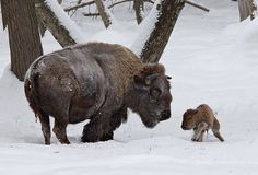 Mama Bison and her tiny calf in the snow.