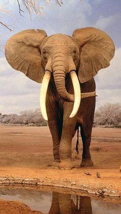 African Elephant - very impressive shot!