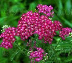 Achillea millefolium 'Cerise Queen' http://www.seedaholic.com/achillea-millefolium-cerise-queen.html#The_Cutting_Garden