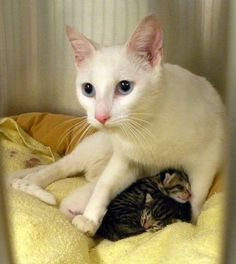 Foster homes needed! It is officially kitten season, and Toronto Animal Services South needs foster homes for mums & babies. If you're interested, please give the shelter a call at 416-338-6668!