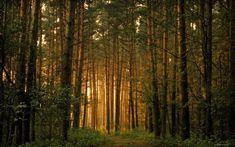 Сосновый лес