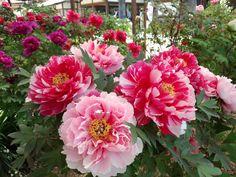 Japan, peony garden of Oka-dera in Nara Prefecture
