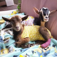 Goats of Anarchy:  How sweet are these two!