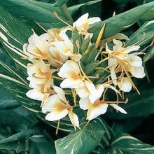 Dr. Moy Hardy Ginger Lily for sale buy Hedychium 'Dr. Moy'