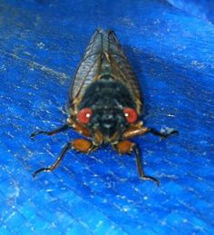 A cicada from the 2013 Emergence this past April-May.  This one I named Cady.  I miss them.  They will not emerge again for another 17 years.