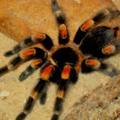 """Tarantula-still can't believe I got to hold one of these at a """"behind the scene"""" tour of the insect house."""