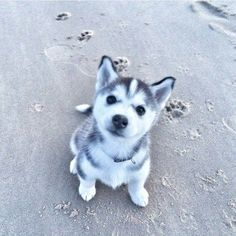 Husky Puppy at the Beach More