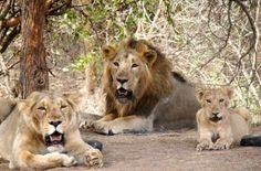 On Wednesday, Three Asiatic lion cubs were crushed to death under a goods train in Gujarat's Amreli district. The Asiatic lion cubs were crushed to death under a goods train in Gujarat's Amreli district on Wednesday.. Three lion cubs were run over by a speeding goods train near Pipavav port area in Amreli district tonight, police said. Pipavav Marine Police...  Read More
