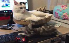 Big Cat Dominates over a Small Cat