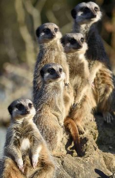 A family of meerkats enjoy the sunshine...  - Manor House Wildlife Park, Tenby, Wales. - telegraph.co.uk