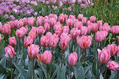 Tulip Pretty Princess - Flower Bulbs | DutchGrown®