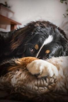Berner Sennenhund Bernese Mountaun Dog Dream