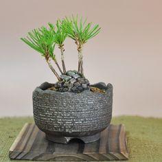 松ぼっくりの盆栽 Bonsai Art, Bonsai Plants, Bonsai Garden, Fruit Garden, Green Garden, Avocado Plant, Mini Bonsai, Miniature Trees, Spring Bulbs