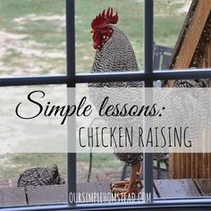 Simple Lessons: Chicken Raising - I remember the first time I went to my hubby and told him I wanted to raise chickens.  We were living in the city, with neighbors right on top of us and a postage stamp for a backyard.  To say the least, he laughed! http://oursimplehomestead.com #chickens